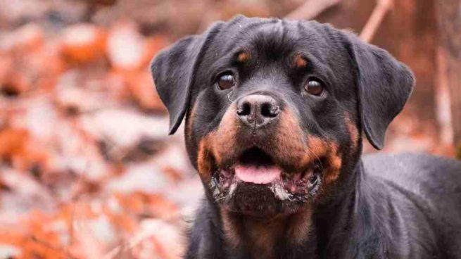 Razas perros: el rottweiler