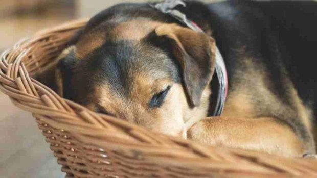 El sistema inmune de tu perro