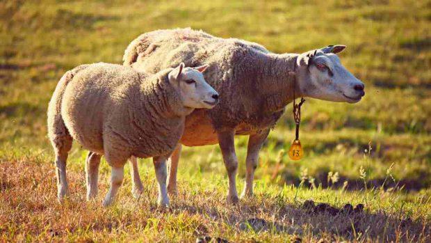 ¿Cómo criar ovejas?