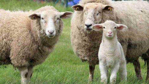 Tips para criar ovejas