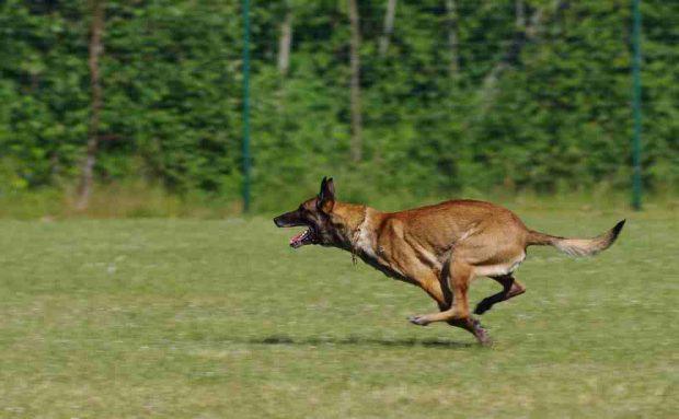 ¿Cómo es el perro belga malinois?