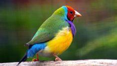 Pájaros curiosos: el diamante de gould