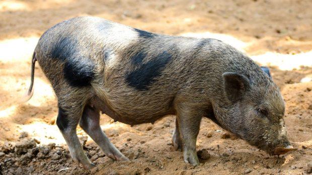 ¿Cómo criar un cerdo doméstico?