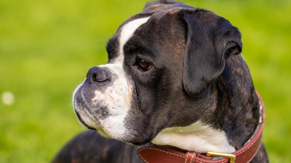 Un perro raza bóxer.