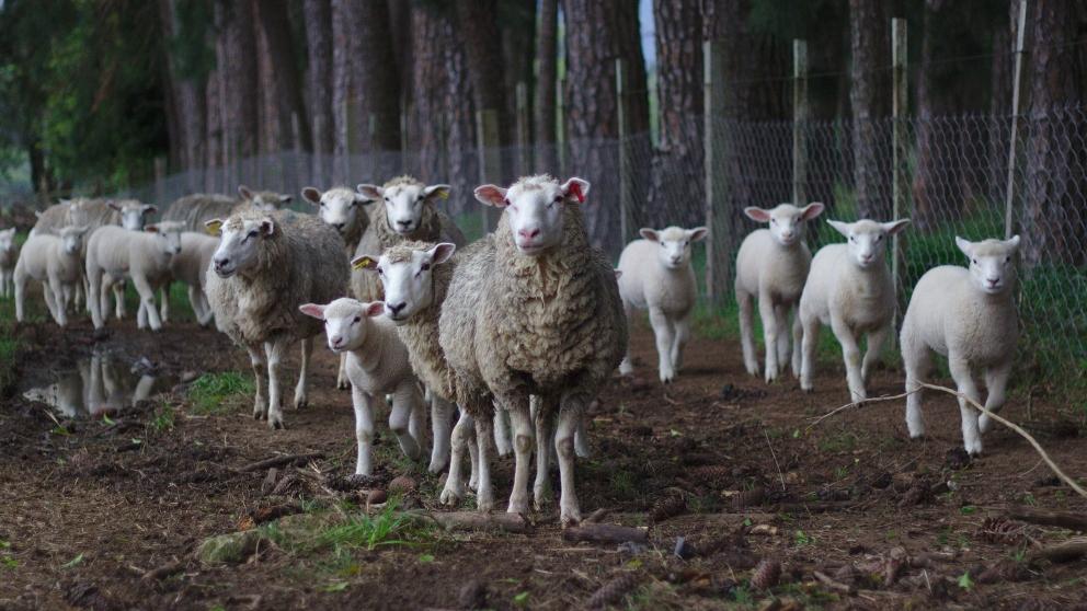 Enfermedades que tienen las ovejas