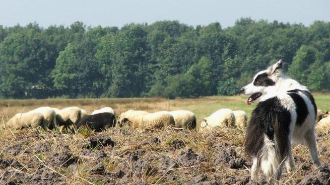 Perros para pastoreo, mejores razas