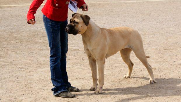 El perro bullmastiff