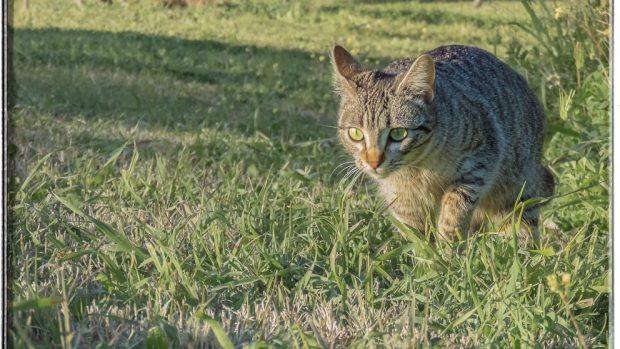 Un gato asilvestrado