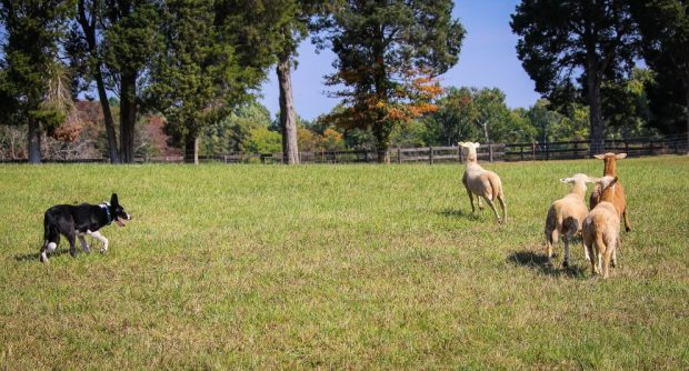 Adiestramiento de perro pastor