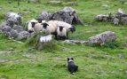 El adiestramiento de un perro pastor