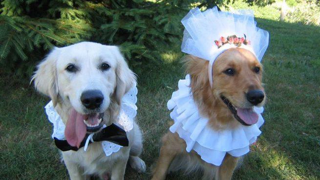 Perros se casan