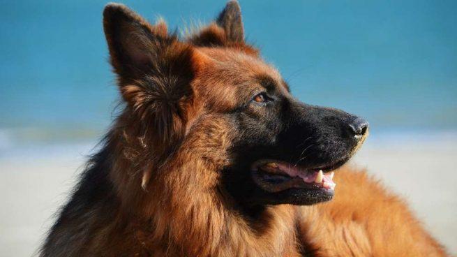 Razas de perros: el pastor alemán