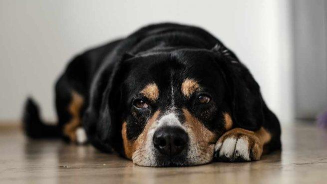 El abdomen agudo en perros