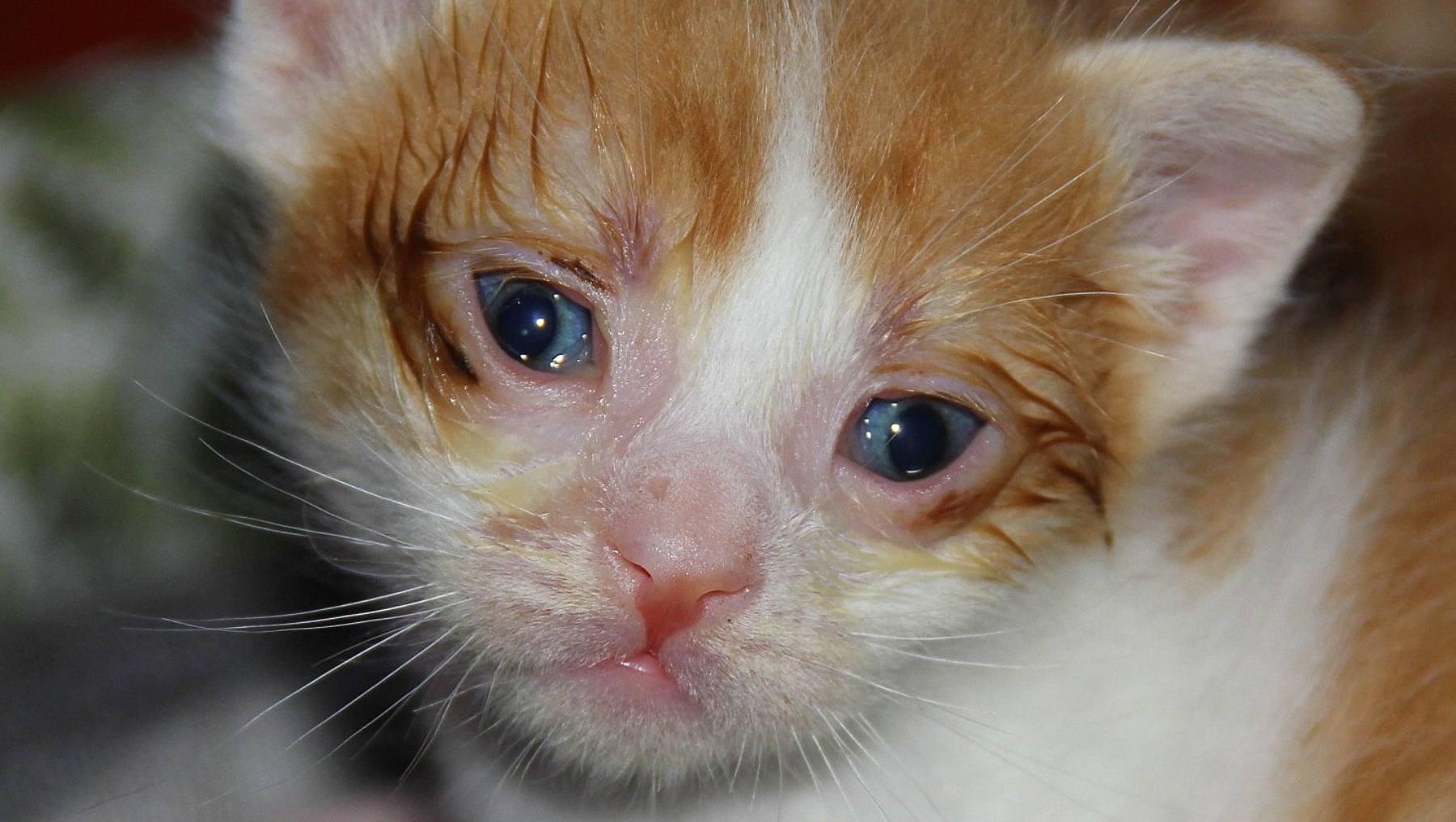 Traumatismos en gatos