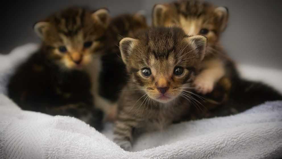 La clonación de gatos