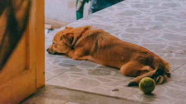 Embarazo y el puerperio canino