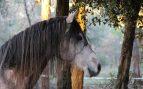 ¿Cómo es el caballo árabe?