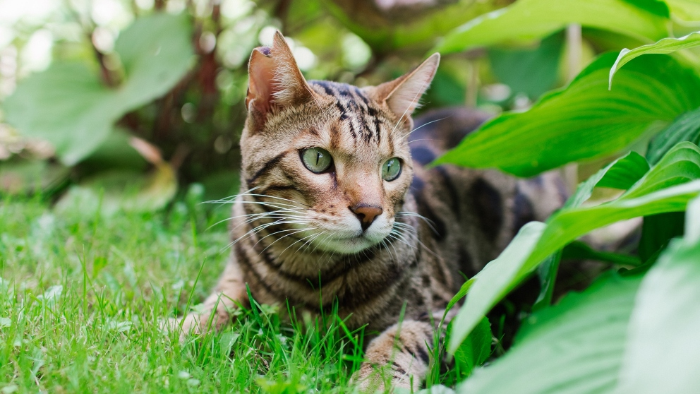 ¿Cómo es el gato bengalí?