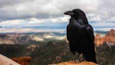 Aves con especial encanto, el cuervo