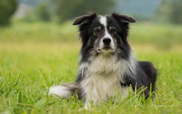 Border Collie, perros bellos