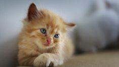 ¿Cómo actuar en traumatismo en gatos?