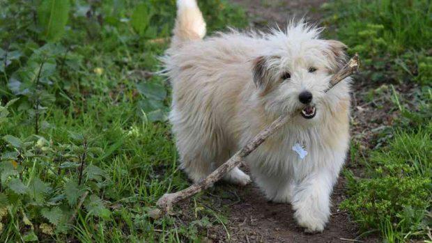La llegada de la muda de pelo en tu perro