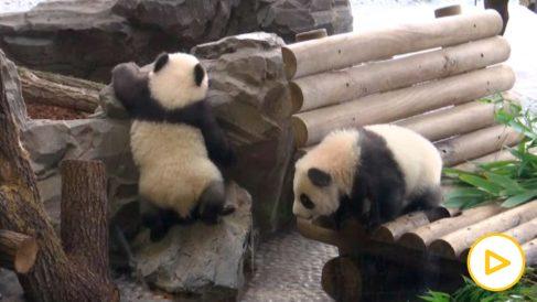 Dos nuevos pa das en el zoo de Berlín