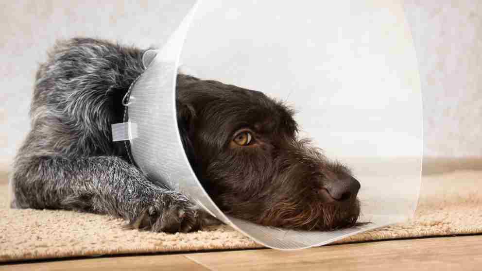 como cicatrizar heridas linear unit perros