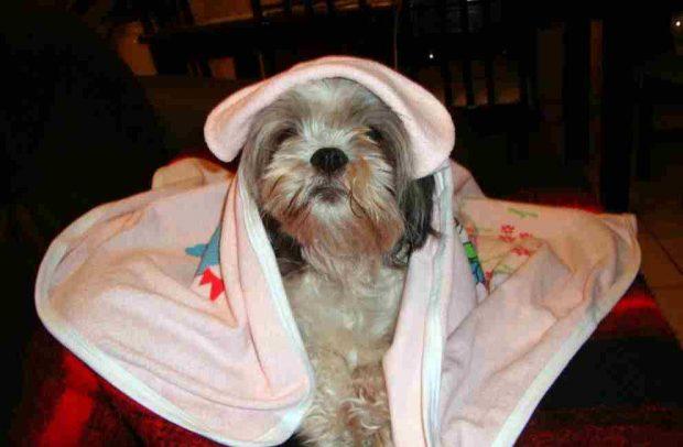 Tratamiento de heridas en la cabeza en tu perro