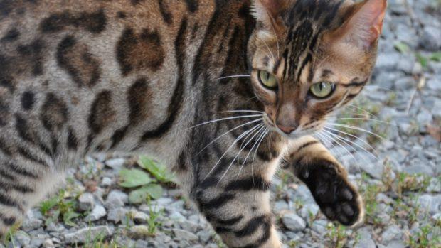 Curiosidades del gato tigre