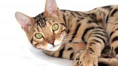 ¿Cómo es el gato tigre?