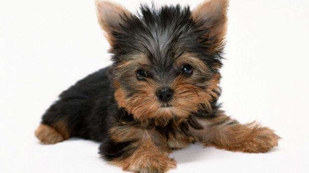 Peor carácter los perros pequeños