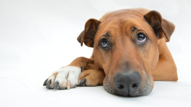 hiperplasia prostatica benigna en perros