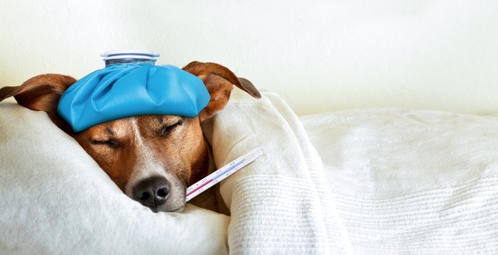Las enfermedades hormonales en mascotas
