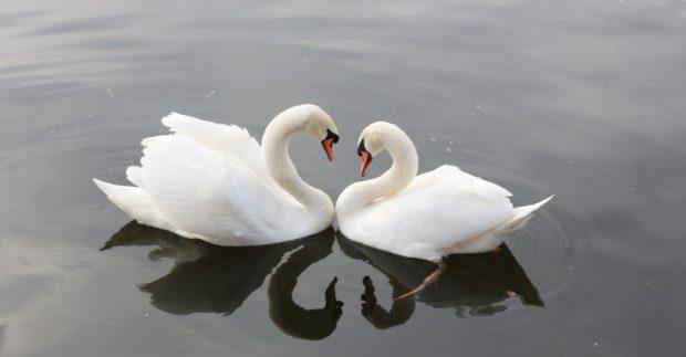 Cisnes, una sola pareja
