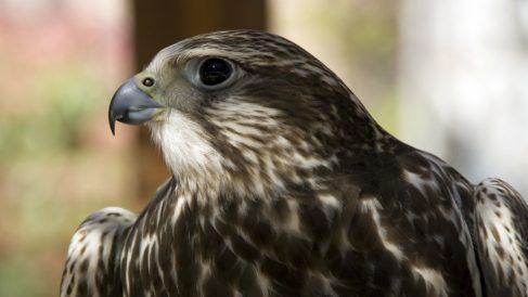 Características del halcón