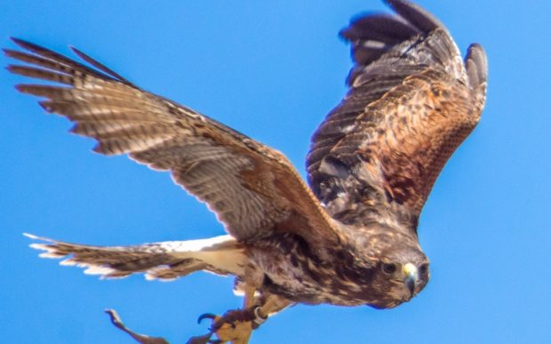 Un halcón en vuelo