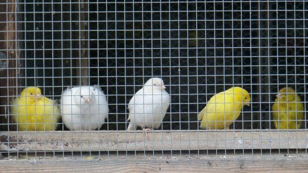 Canarios, exceso de peso