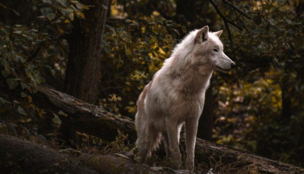 Lobo en libertad