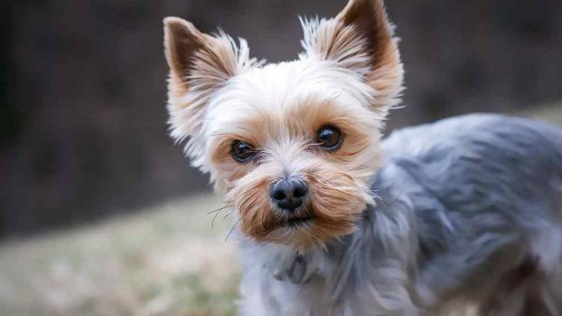 Perro pequeño, robos de perros