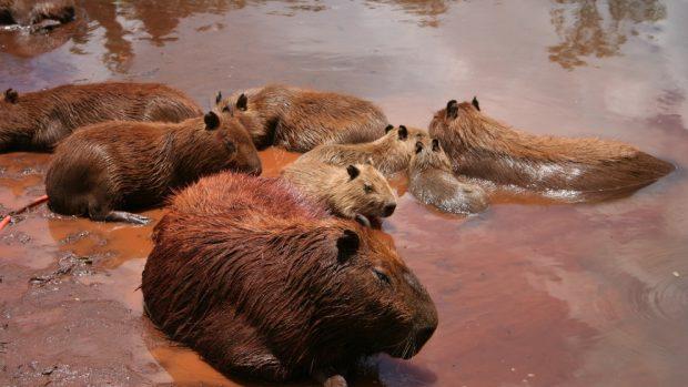 Roedores capibaras