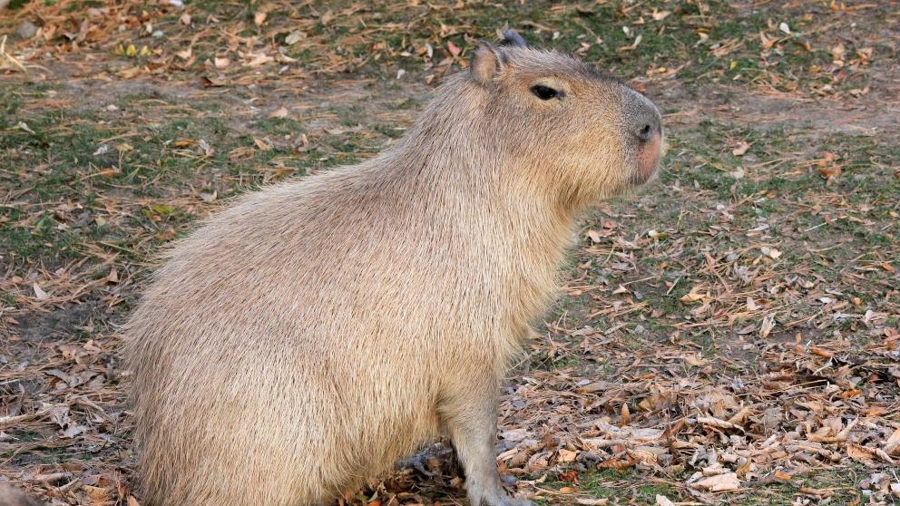 Roedor de más tamaño: capibaras