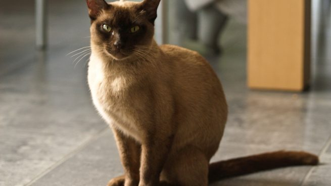 El gato burmés