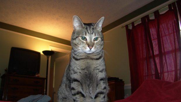 El gato pixie bob