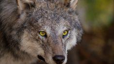 Clases de lobos: gris y el ibérico
