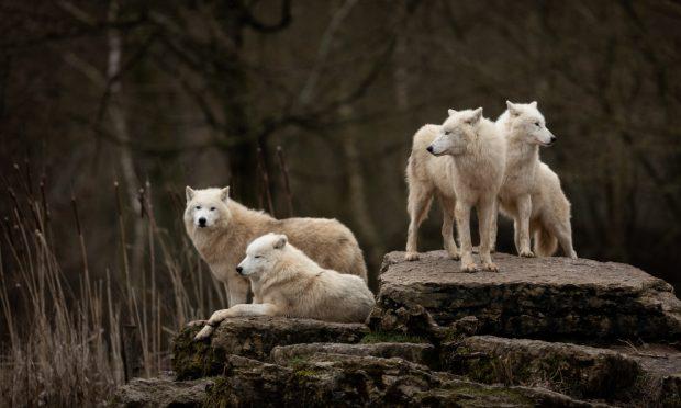 Lobo gris, lobo ibérico