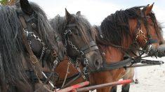 ¿Conoces al caballo belga de tiro?