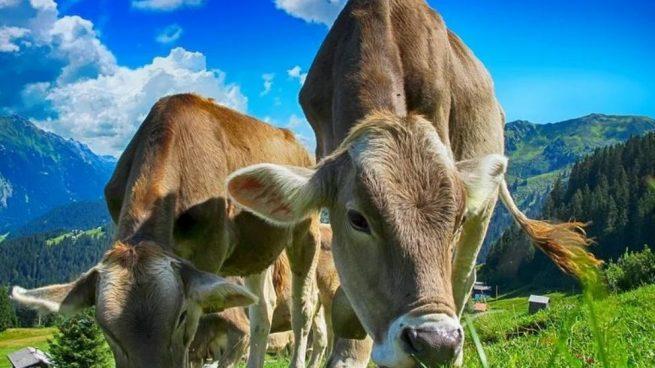 Las vacas tienen 360 grados de visión panorámica. Esto les permite ofrecer un campo visual muy amplio.
