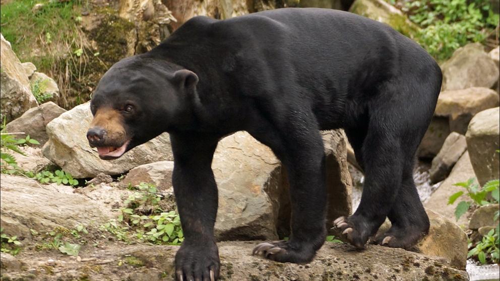 Curiosidades del oso malayo americano