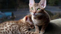 Razas curiosas: el gato ocelote
